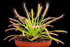 3 Plants Cape Sundew 'Typical' (Drosera Capensis) Carnivorous plant Rare!