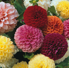 Dahlia Pompone Doubles mixed 150 seeds - Annual