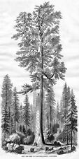 CALAVERAS COUNTY CALIFORNIA GIANT SEQUOIA TREE MOTHER OF THE FORREST CONIFER