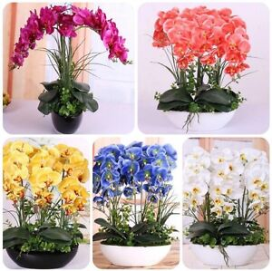 US- 50 Pcs Mixed Colors Phalaenopsis Seeds Bonsai Balcony Flower Orchid Seeds
