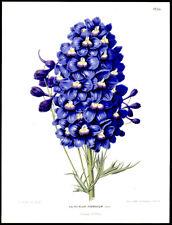Lovely Larkspur  1st Ed. 1868 G. Severeyns Chromolithograph Henrik Witte Botany
