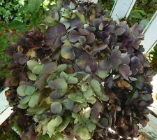 12 Dried Hydrangea Flowers Lt Green, Cream and Purple Plum Crafts Seconds