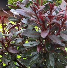 PLUMTASTIC AZALEA indica dark-wine foliage hedging full-sun plant in 140mm pot