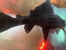 New listing Large 10� (10 Inches To 12 Inches) Big Pleco Very Healthy And Young