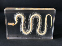 Skeleton of a Snake - Articulated Specimen - Taxidermy (Read Description)
