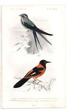 Original 1849 Oiseaux Imprimer Swift xanthornus Pl. 3, par Ch. Orbigny, atlas volume 1