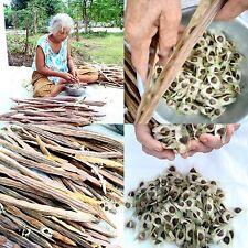 1,000 Moringa Oleifera Seeds Horserdish Drumstick +  PHYTOSANITARY CERTIFICATE