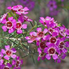 Chamelaucium uncinatum Purple Pride Geraldton Wax Flower native plant 50mm pot