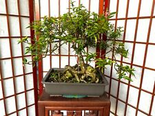 """Dwarf Barbados Cherry Tree 1"""" Trunk Amazing 4"""" Exposed Roots"""