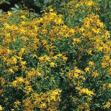 Suffolk Herbs - St John's Wort - 250 Seeds