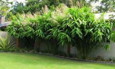 TIGER GRASS 50 seeds. Clumping Bamboo type Tropical PERENNIAL Garden Tree Shrub