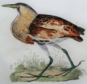 BITTERN, Prideaux John Selby original antique hand coloured bird print c1828