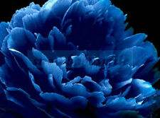 50 Rare China Blue Botanicula Peony Seeds Paeonia Suffruticosa Flower Tree Plant
