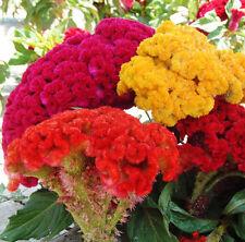 100 Cockscomb Seeds Celosia Cristata Ornamental Garden Flowers