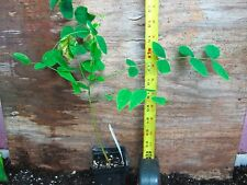 Gymnocladus dioicus - Kentucky Coffee Tree! Awesome! Purple pods!