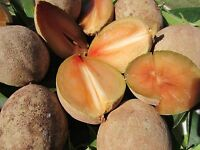 """1 pot 12"""" Sapote Manilkara Zapota Sapodilla Nispero Tropical Fruit Plant"""