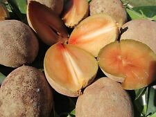 3 seedling PLANTS 3 pots Sapote Manilkara Zapota Sapodilla Nispero Fruit Tree