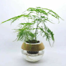 100 Fern Plant Seeds Mixed Rare Perennial Herb Asparagus garden