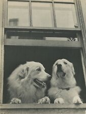 Pyrenean Mountain Dogs Look Out Window Vintage Full Page Photo Print by Ylla