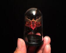 Cabinet de curiosités Entomologie Globe avec Insecte Penthicodes atomaria!