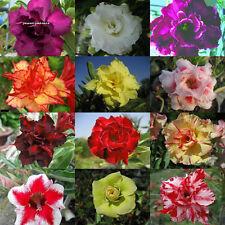 """NEW! Adenium Obesum Desret Rose """"Mixed 12 Type 110 Seed RARE!"""
