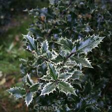 GIALLO COLORATI ilex aurea 25-30cm ilex aquifolium