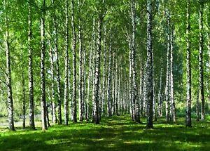 Fototapete WALD-VLIES (2738E)-Birkenwald Birkenbäume Birken Baum Bäume Natur XXL