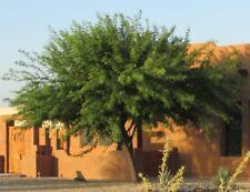 15 Seeds Thornless Argentine Mesquite Tree, Algarrobo Prosopis alba panta Blanco