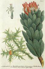Árbol de plata/protea-roja pagoda & golddistel-Weinmann-grabado 1742
