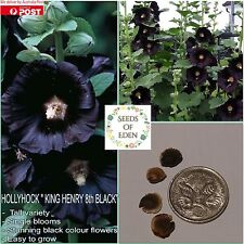 10 HOLLYHOCK 'King Henry the 8th Black' SEEDS (Alcea rosea); Garden favourite