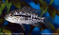 "(6) 1"" Black Nasty Cichlid TR Nandopsis haitiensis Live Freshwater Tropical Fish"