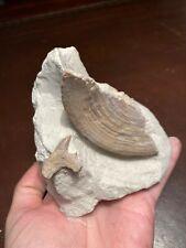 Cretalamna shark tooth & vert Kent Cretaceous Chalk British Fossil NO RESERVE
