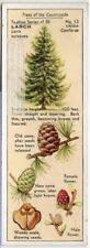 Larch Tree Larix eupoaea 1930s Trade Ad Card