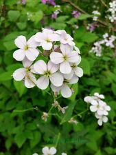 50+ White Dames Rocket Flower Seeds / Perennial / Hesperis