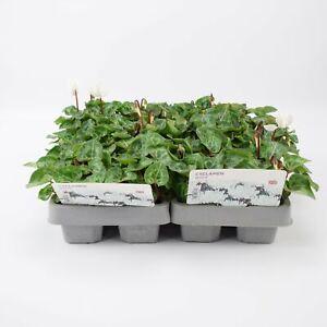 2 X Cyclamen White 6 Pack (12 Plants)