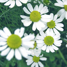 CORN CHAMOMILE (ANTHEMIS) - MEADOW FLOWERS - BULK PACK 20000 SEEDS - wild flower