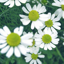 CORN CHAMOMILE (ANTHEMIS) - MEADOW FLOWERS - 4000 SEEDS - wild flower seed