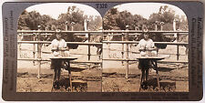 Keystone Stereoview of Ostriches Hatching in Pasadena, CA from 1930's T400 Set