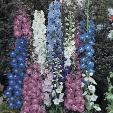 Delphinium - Larkspur Pacific Giant Seed Mix Perennial Color