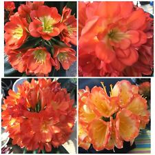 1xClivia m. Multi-petal MIXED. 1.5 Year Old Plant . UK National Collection
