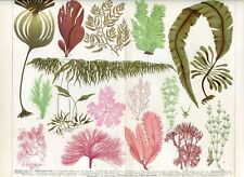 Algae, seaweeds... Antique lithograph...1898