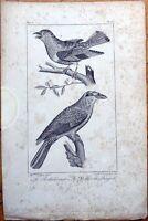 Le Rollier vert, Le Rollier du Bengale - 1830s French Bird Print
