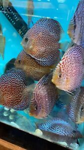 Spotter Leopard Discus 4 Inch Tropical Live Fish