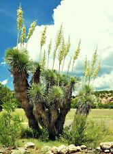 RARE YUCCA ELATA @j@ exotic succulent cactus soaptree aloe agave garden 15 SEEDS