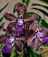 Vanda Mimi Leopard Spots blühstarke Pflanze Duft Orchidee Orchideen