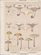 MUSHROOM PRINT. Edible Fungi Of New York. Circa 1900 ~Clitocybe Prunulus~