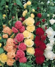 25 Double Hollyhock Perennial seeds 3 ft plants no staking needed