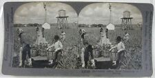 1910's Keystone Stereoview~Harvesting Indian River Pineapples in Florida