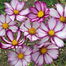 Cosmos Sensation Picotee Seed Annual Easily Grown Tall Flower Long Vase Life