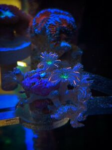 Bright Firework Neon Green Orange Tip Papaya Clove Polyp LPS Coral Frag - 3 Head